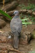 Speckled Dove