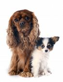 Papillon Puppy And Cavalier King Charles