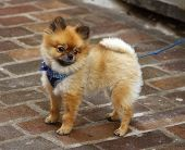 picture of chow  - Baby chow - JPG