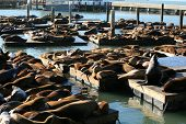 Genuine Wild California sea lions AKA Zalophus californianus Lounge in the sun on docks in the harbo