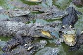 foto of gator  - Close up crocodile masses in the lake - JPG