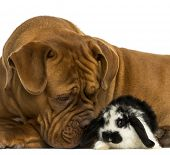Close-up of a Dogue de Bordeaux sniffing a Lop rabbit, isolated on white