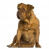 stock photo of dogue de bordeaux  - Dogue de Bordeaux sitting - JPG