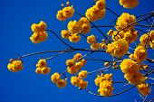 Yellow Silk Cotton Flowers And Blue Sky
