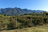 Blackberry plantation in Swellendam area