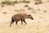 image of hyenas  - Spotted Hyena (Crocuta crocuta) - walk at savann. Masai Mara Conservancy Kenya Africa