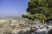 Pine On Festos Ruins