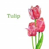 Tulips Isolated On A White Background.