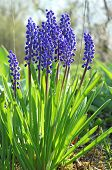 Blue flowers. Mus cari.