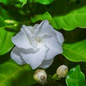 Cape Jasmine ,  Common Gardenia