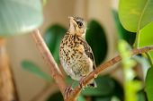 Cute Young Fieldfare On Tree