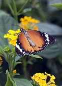 Plain Tiger Butterfly Or African Monarch (danaus Chrysippus)