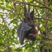 Flying Fox (pteropus)