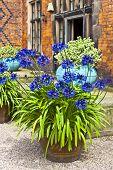 Blue allium flowers.