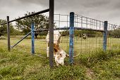 pic of texas-longhorn  - Texas Longhorn eating grass through the fence - JPG