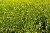 Flower Of Brassica Alboglabra Plant Field.