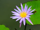 Lotus  Flower Beautiful Water Lily