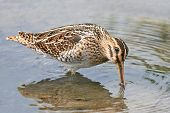 stock photo of snipe  - Common snipe looking for food in its habitat - JPG