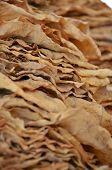 stock photo of tobaco leaf  - Picture of a Drying tobacco leaves on sun