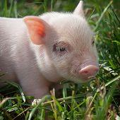 Vietnamese Piggy