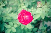 foto of climbing roses  - beautiful pink rose photographed in the garden - JPG