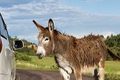 picture of burro  - portrait of a friendly wild burro staring at a car window - JPG