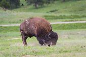Bison Or Buffalo