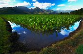 Reflection In Taro Fields