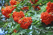 stock photo of rowan berry  - Rowan berries Mountain ash (Sorbus) tree with ripe berry
