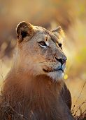 Lioness (panthera leo) portrait lying in grass - Kruger National Park (South Africa)