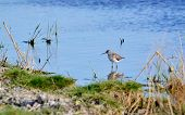 picture of snipe  - Steepe birds play important role in steepe region