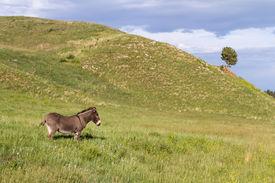 stock photo of burro  - lone wild burro on green grass in Custer state park South Dakota - JPG