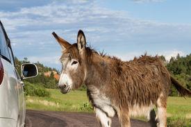 pic of burro  - portrait of a friendly wild burro staring at a car window - JPG