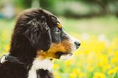 Bernese Mountain Dog Berner Sennenhund Puppy