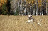 Labrador in Field