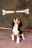 Seven weeks old cute little beagle puppy watching a huge bone