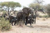 Wild African elephant leading the herd