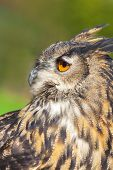 European or Eurasian Eagle Owl, Bubo Bubo, with big orange eyes