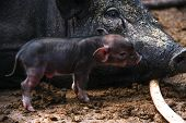 image of baby pig  - Mother pig piggy beside baby piggy in farm - JPG