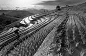 Rice Fields On Terraced At Chiang Mai, Thailand In Black And White