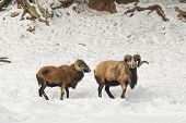 Two Black Belly Sheep In Snow.