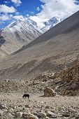 lone black horse and snow mountian range