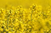 stock photo of rape-seed  - Blooming canola field - Rape on the field in summer