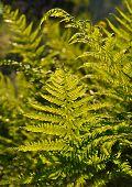 Green fern leafs