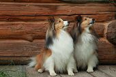 stock photo of sheltie  - Two shelties sitting in front of log home
