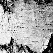 image of white bark  - Black white illustration bark of a birch tree - JPG