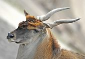 stock photo of eland  - Closeup portrait of a common eland resting in its habitat - JPG