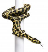 Morelia Spilota Variegata Python, Year Old, On Pole In Front Of White Background