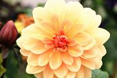 Dahlia flower,closeup