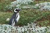 image of arena  - Colony of Magellanic Penguins  - JPG
